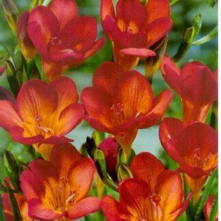 Frézia egyszerű virágú piros színű