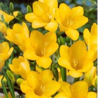 Frézia egyszerű virágú sárga színű