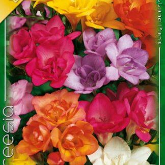 Frézia telt virágú színkeverék