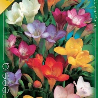 Frézia egyszerű virágú színkeverék