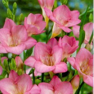 Frézia egyszerű virágú rózsaszín
