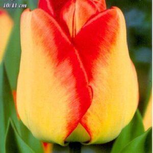 American Dream tulipán