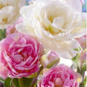 Duo Double rózsaszín-fehér teltvirágú tulipán