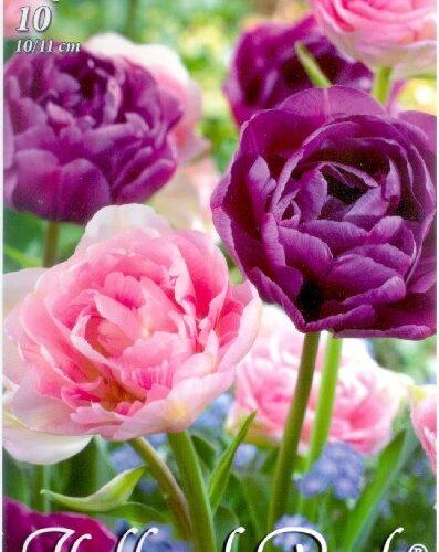 Duo Double lila-rózsaszín teltvirágú tulipán