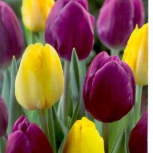 Duó lila-sárga tulipán