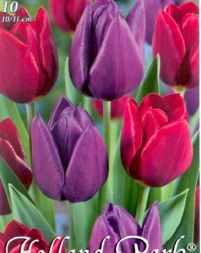 Duó piros-lila tulipán