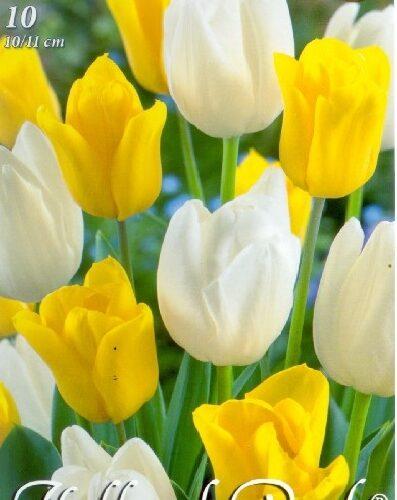 Duó sárga-fehér tulipán