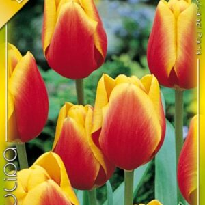 Kees Nelis tulipán