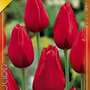 Kingsblood tulipán