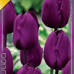 Negrita tulipán
