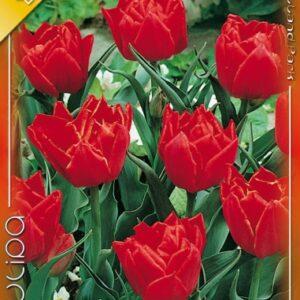 Teltvirágú korai tulipán, Abba tulipán
