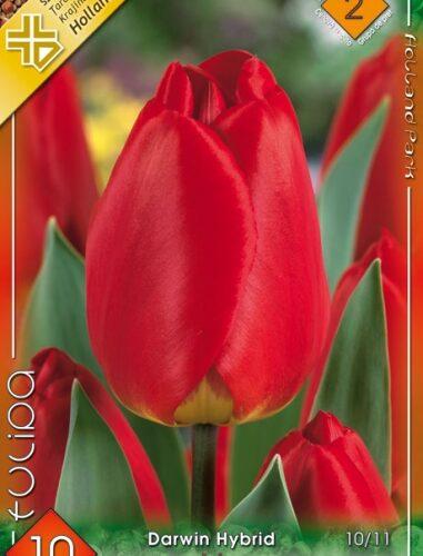 Apeldoorn tulipán
