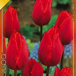 Couleur Cardinal tulipán