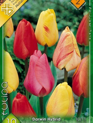 darwin hybrid mix tulipán