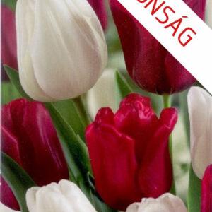 Duó piros-fehér tulipán