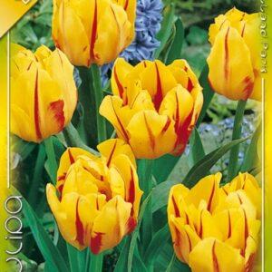 Teltvirágú korai tulipán, Monsella tulipán