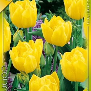 Monte Carlo tulipán