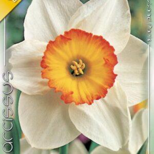 nárcisz flower record