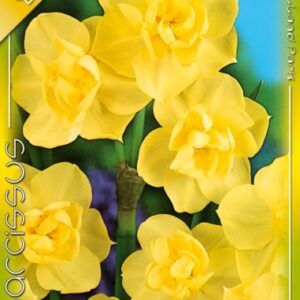 nárcisz yellow cheerfulness