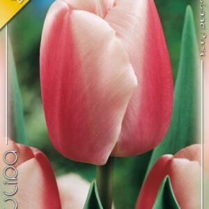Ollioues tulipán