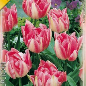 Peach Blossom tulipán