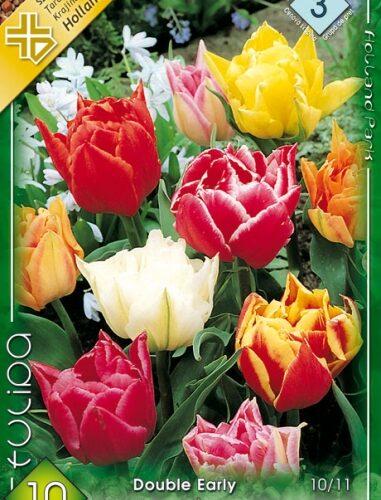 Teltvirágú mix tulipán