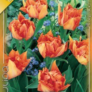 Willem van Oranje tulipán