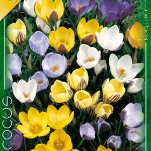 Crocus Chryshantus mix