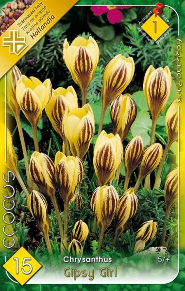 Crocus chrysantus Gipsy Girl