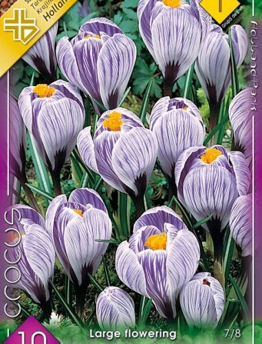 Crocus vernus Pickwick