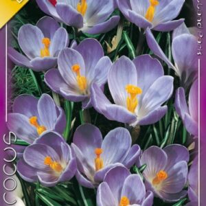 Crocus vernus Rememberance