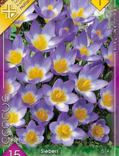 Crocus chrysantus Tricolor
