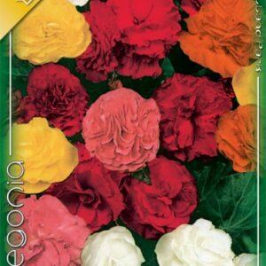 Begonia multiflora