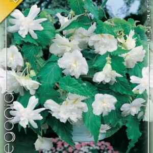 Csüngő begónia fehér