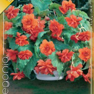 Csüngő begónia narancs
