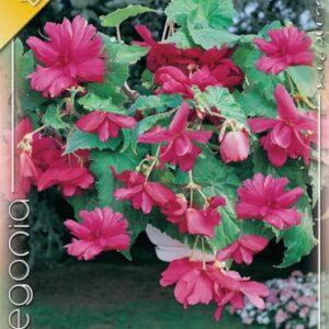 Csüngő begónia pink