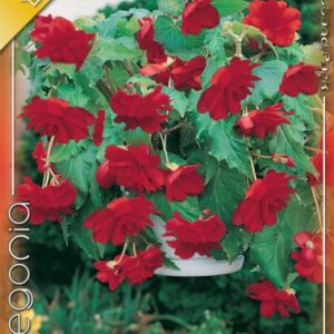 Csüngő begónia piros