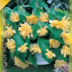 Csüngő begónia sárga