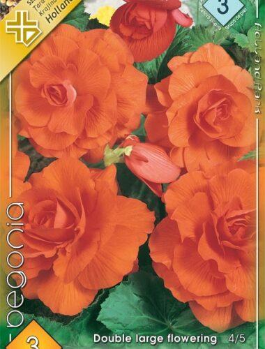 Nagyvirágú gumós begónia narancs