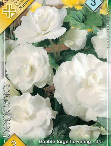 Nagyvirágú gumós begónia fehér