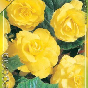 Nagyvirágú gumós begónia sárga