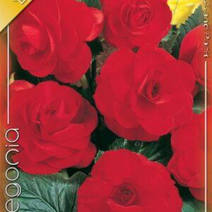 Nagyvirágú gumós begónia piros