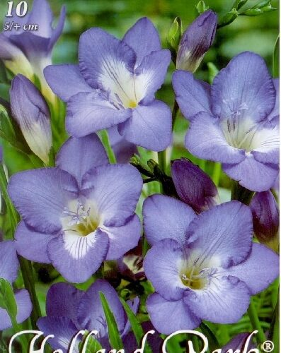 Frézia egyszerű virágú kék színű