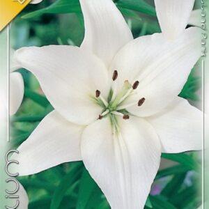 Ázsiai liliom fehér