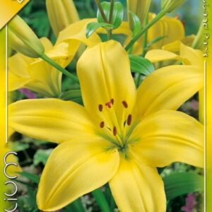 Ázsiai liliom sárga