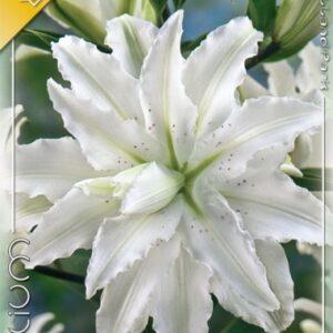 Liliom oriental hybrid Innocent