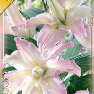 Liliom oriental hybrid Soft Music