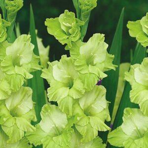 Kardvirág Green Star