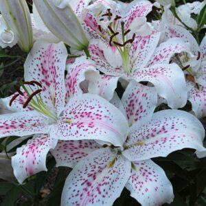 Ázsiai liliom Extravaganza