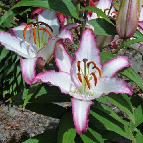 Liliom oriental hybrid Hotline